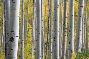 white barked trees