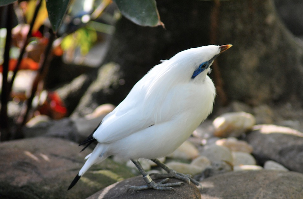 Bali mynah at the Palm Beach Zoo