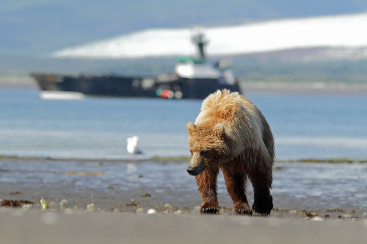 Natural Habitat Adventures has just announced its exclusive charter of a legendary vessel it has rechristened the M/V Natural Habitat Ursus, to take guests as close as possible in safety to the largest coastal grizzlies in the world.