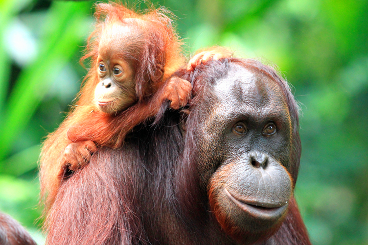 "Wild Planet Adventures has been granted special access to lead wildlife eco-tours in the remote Maliau Basin Conservation Area, famously known as ""The Lost World of Borneo"" where an expedition encountered an unprecedented number of wild orangutans (©Yayasan Sabah)"