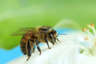 https://secureservercdn.net/104.238.71.109/p17.036.myftpupload.com/wp-content/uploads/2015/11/honey-bees--320x213.jpg