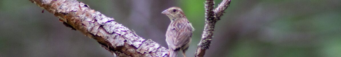 Blue Grosbeaks of The Bog
