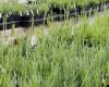 Lavender Plant Sale