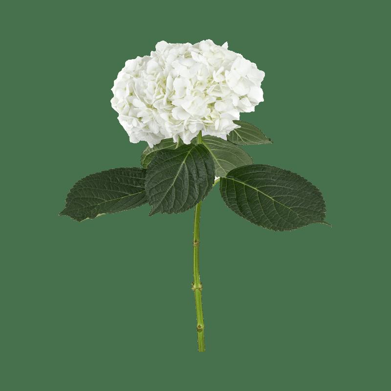 Classic-White