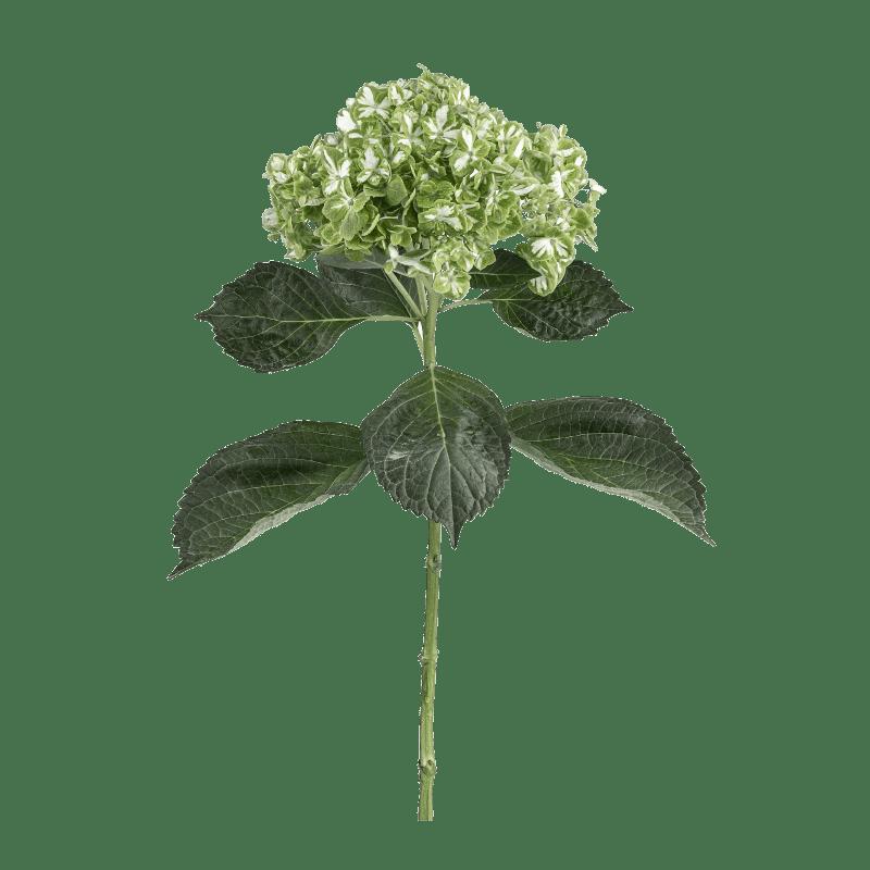 Emerald Variegate