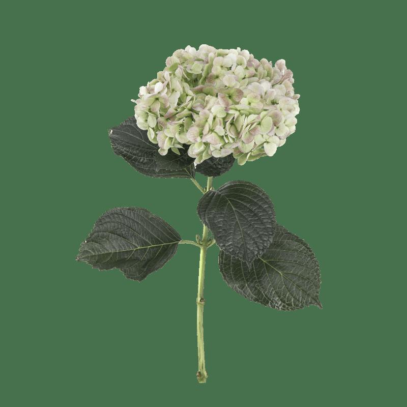 Green-Antique- Super Select