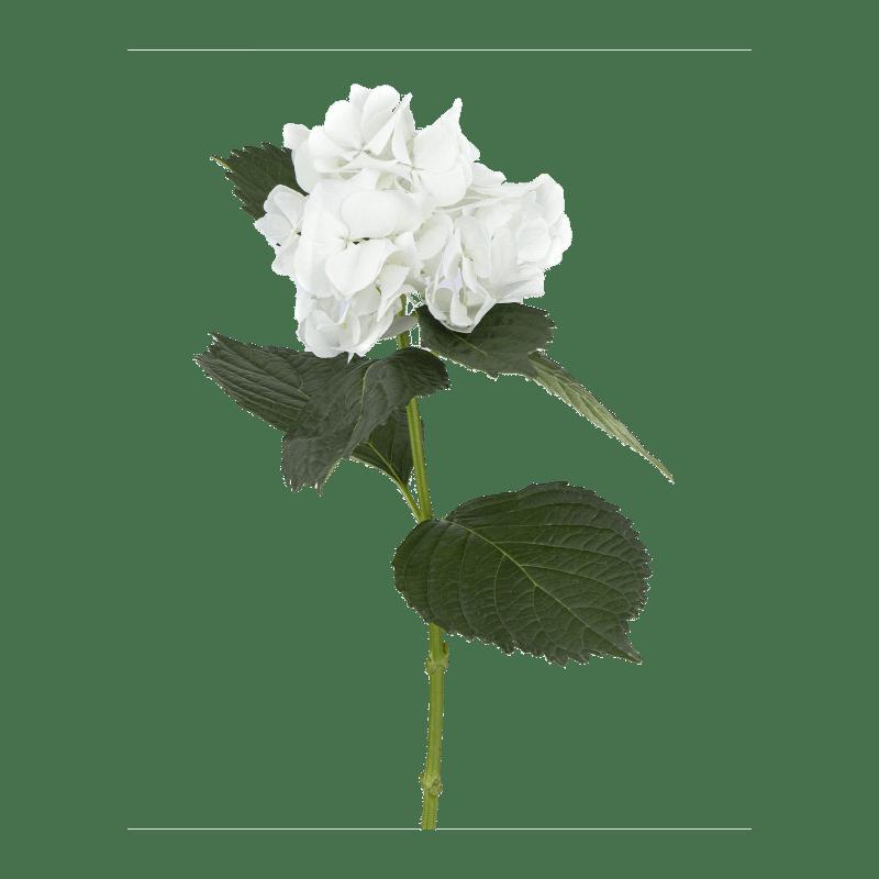 White-Big-Petal