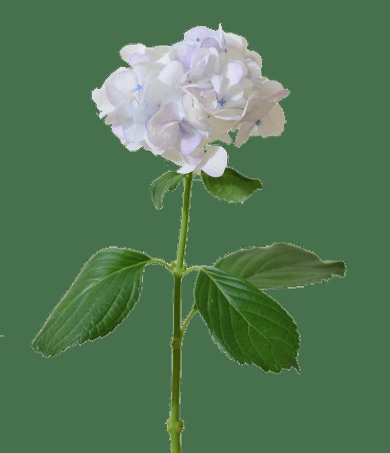 Rose Big Petal