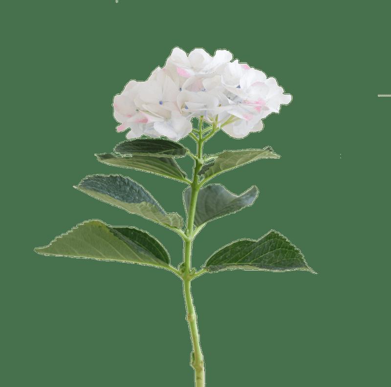 Rose Select