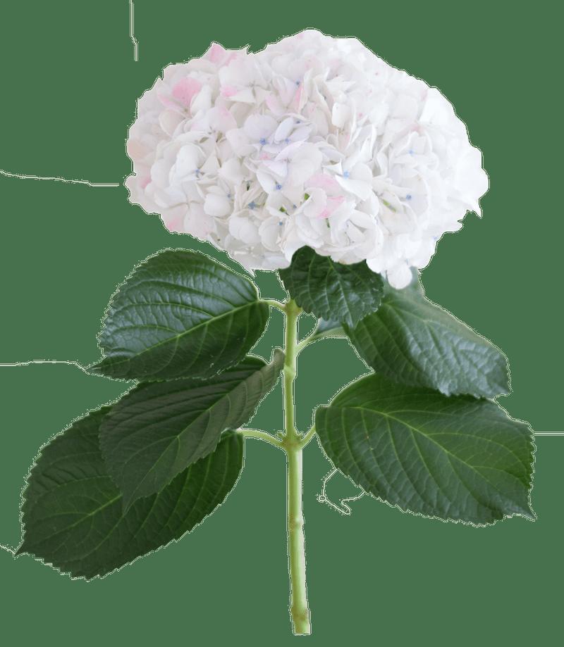 Rose Jumbo
