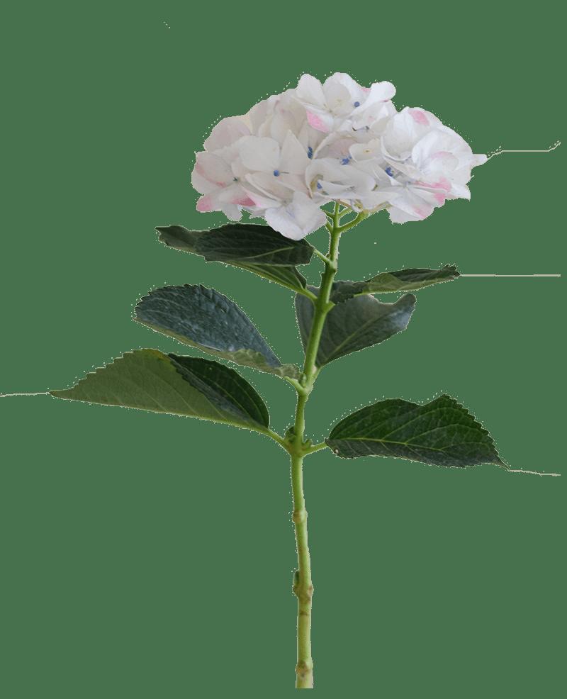 Rose Super Select