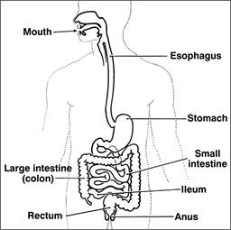 digestivesystem 1