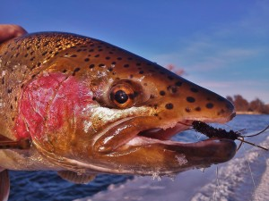 A Montana rainbow complete with rubber legged stonefly in the corner of his mouth.