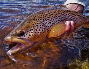 A fine Big Hole River Brown trout that ate aBeadhead Soft Hackle Har'e Ear