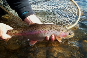 Releasing a fine Madison River rainbow trout.