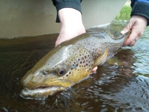 A beautiful Big Hole River brown trout safely released.