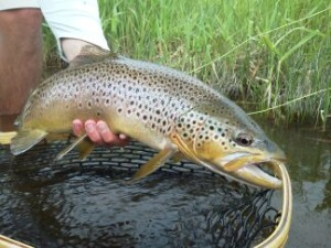 A heavy shouldered Big Hole River brown heading back to the river!