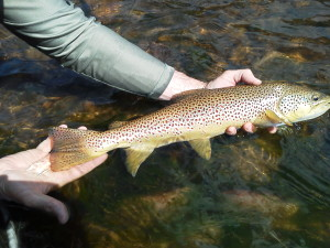 Releasing a beautiful Big Hole River brown back to the river!