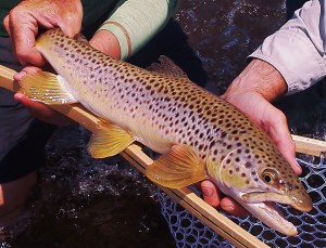 A beautiful Madison River brown trout
