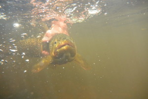 Big Hole Rive brown trout released back to the river.