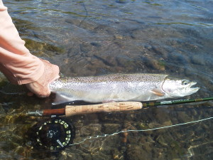 A big Madison river rainbow being released back to the river!