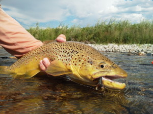 A heavy shouldered Madison River brown trout.