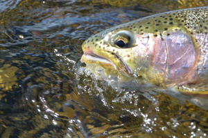 a nice rainbow trout that ate a PT Spanker!