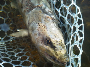 A Big Hole River brown trout infected with the Saprolegnia fungus.