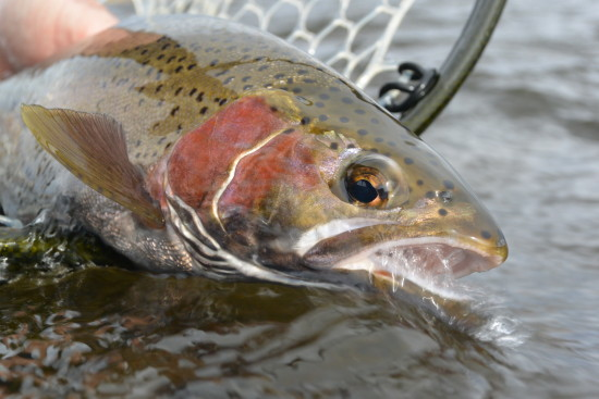 slipping a Madison rainbow back to the river.
