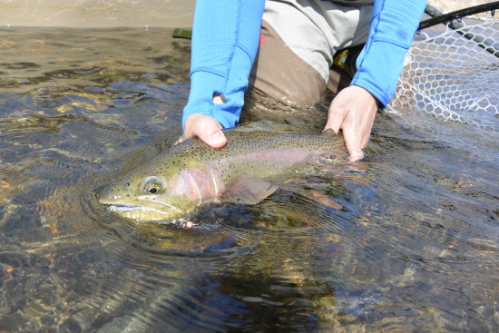 Releasing a big Madison River Rainbow Trot.