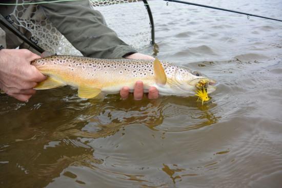 Releasing a heavy Beaverhead River brown trout
