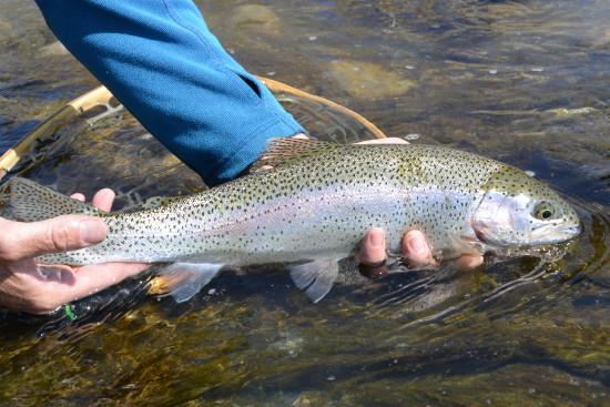 Releasing a beautiful Beaverhead rainbow back to the river.