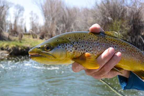 a clean brown trout close up