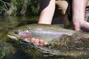 a beautiful Beaverhead River rainbow caught on adrop shot nymphing leader