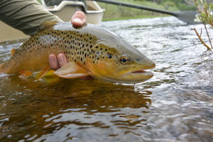 Releasing a Big Hole River brown trout.