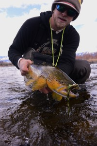 A meat eating Madison River brown trout!