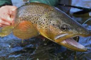 A large kype jawed Madison river brown trout.