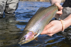 A healthy Madison River rainbow trout.