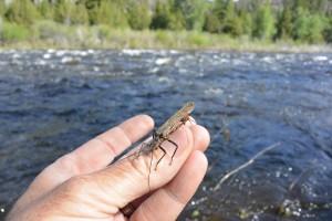 Holding a Salmon Fly on Montana's Big Hole River.