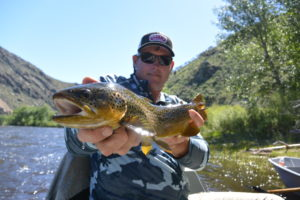 A healthy Big Hole River Salmon Fly eating brown trout. Big Hole River Fishing Report 6-7-16