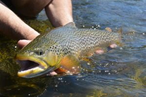 Resting a heavy shouldered Madison River brown as he was released.