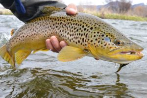 a dandy winter brown taken on al arge articulated streamer.