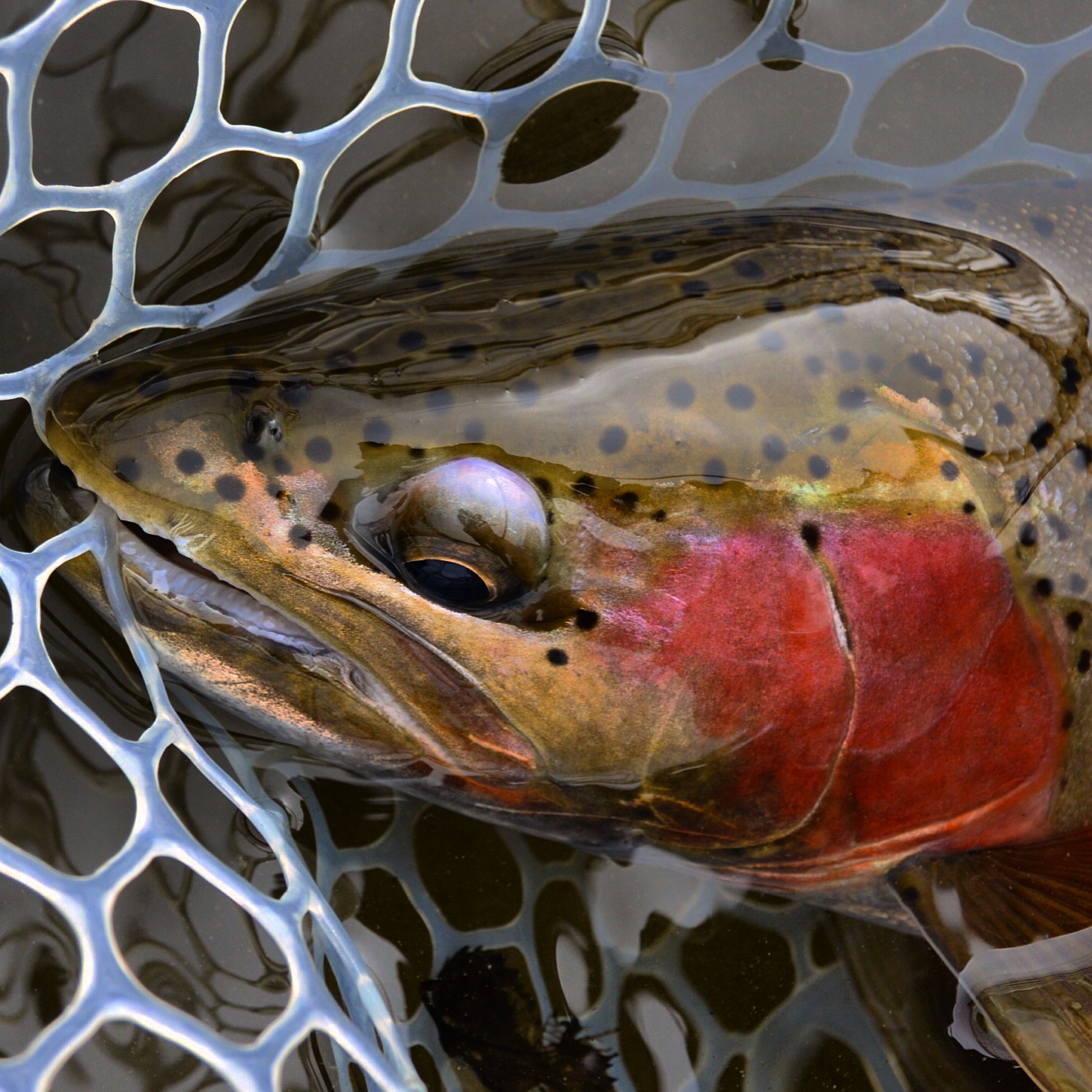 Close up of a fine Madison River rainbow trout.