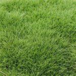 Zeon Zoysia Sod Grass