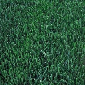 Pureblue Lite Sod Grass