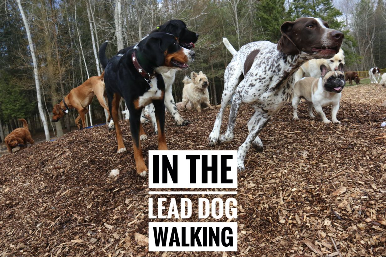 In The Lead Dog Walking