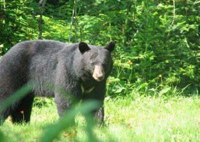 black bear hunting in Ontario