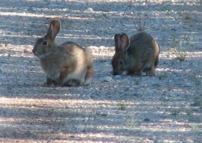 hares in ontario