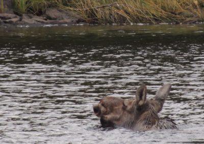 moose up close hunting