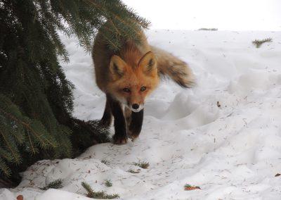 red fox hunting prey